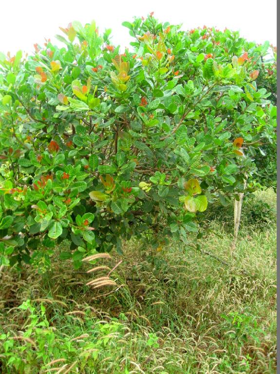 Trekking Ban Lung cashew noot boom