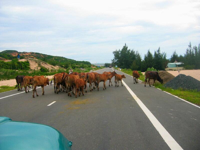 Reistips backpacken Mui Ne loslopende koeien