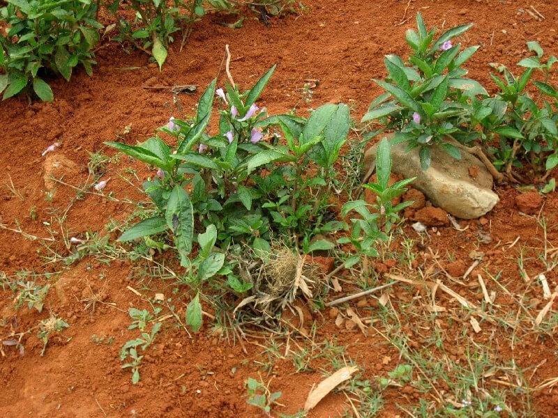 Sapa indigo plant