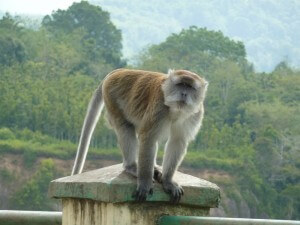 Backpacken Indonesië aap in Sumatra
